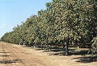 walnut-img01